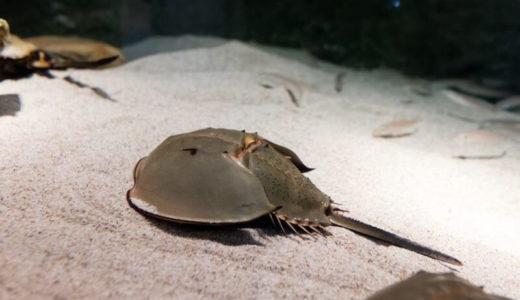 生きる化石に会えるレア情報!佐賀「伊万里湾カブトガニの館」の見所を徹底解説