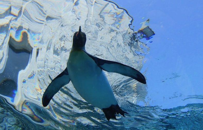 ペンギンの謎に迫る!魚のように水の中で泳げるのはどうしてなの?