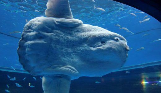 知って得するレア情報!東京近郊でマンボウに会える貴重な水族館3選