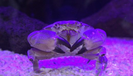 食べるな危険!猛毒スベスベ マンジュウ ガニに逢える水族館6選